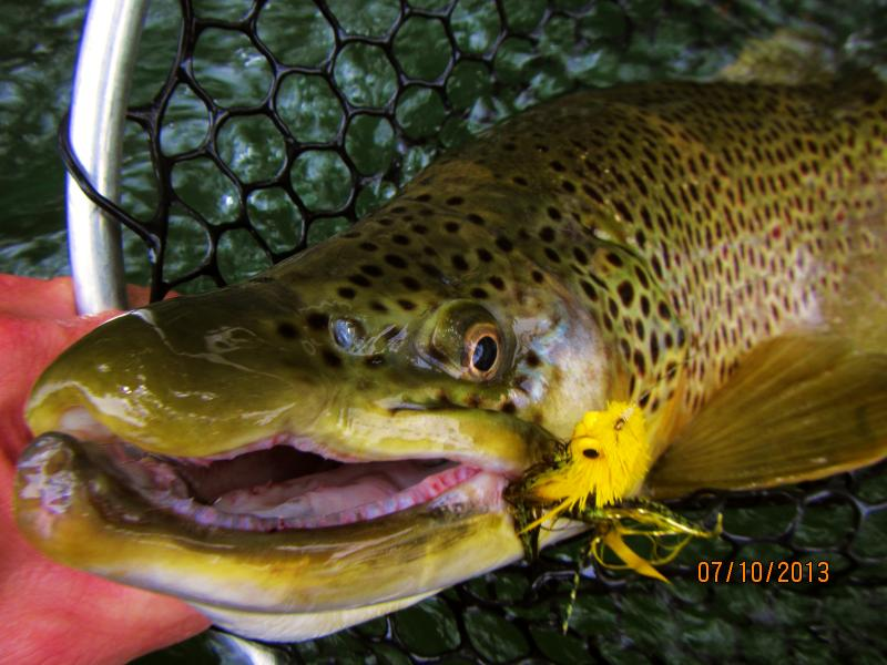 Big Brown Trout mugshot Clinch River Trophy Trout with Rocky Top Anglers
