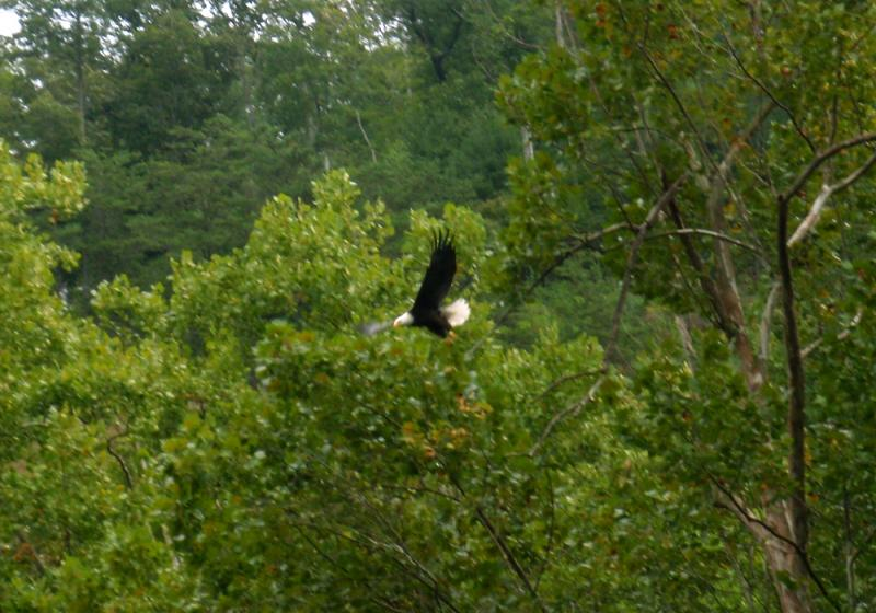 Bald eagle on the Hiwassee River in the Cherokee National Forest