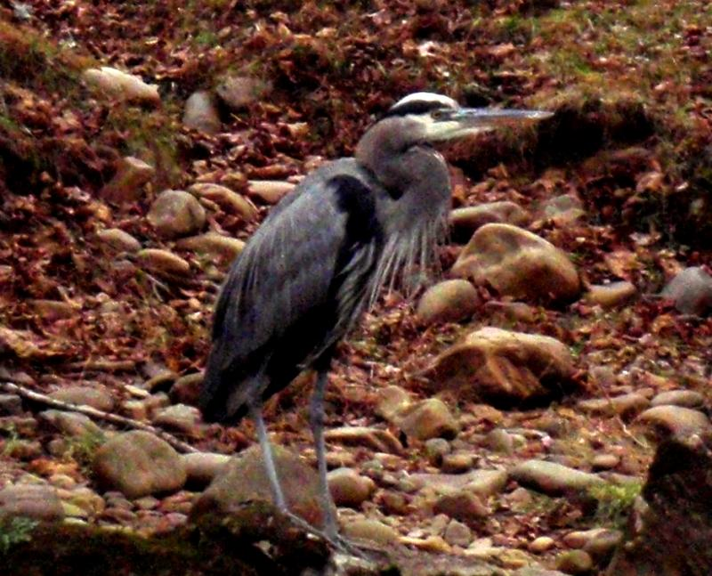 Great blue herons are some of the finest fishermen on the river.