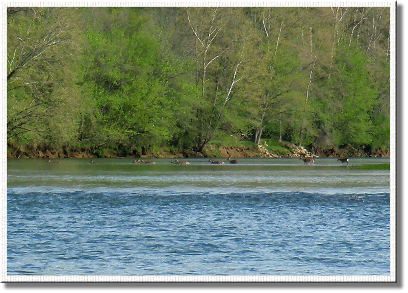 Herd of deer swimming across the river about 200 yards upstream of our boat.